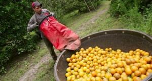 Trabajadores 'huéspedes' más explotados que los indocumentados