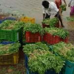 Más de 380 personas enferman por comer cilantro en EU